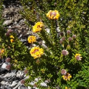 Oxylobium ellipticum at Sth Tablelands Ecosystem Park - 20 Oct 2016
