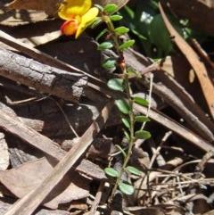 Bossiaea buxifolia (Bush Pea) at Tidbinbilla Nature Reserve - 15 Oct 2016 by galah681