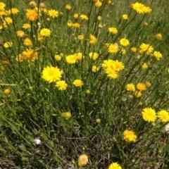 Calotis lappulacea (Yellow burr daisy) at Garran, ACT - 24 Oct 2016 by Ratcliffe