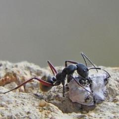 Camponotus suffusus at Brogo, NSW - 24 Oct 2016