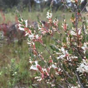 Brachyloma daphnoides at Wandiyali-Environa Conservation Area - 26 Oct 2016