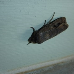 Agrotis infusa (Bogong Moth, Common Cutworm) at Reid, ACT - 13 Oct 2016 by JanetRussell
