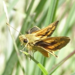 Ocybadistes walkeri (Greenish Grass-dart) at Kambah, ACT - 1 Nov 2014 by MatthewFrawley