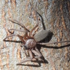 Hemicloea sp. (genus) (Flat bark spider) at Conder, ACT - 4 Jul 2014 by michaelb