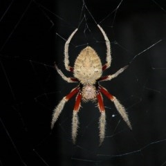 Eriophora transmarina (Garden orb-weaver) at Brogo, NSW - 12 Jan 2006 by MaxCampbell