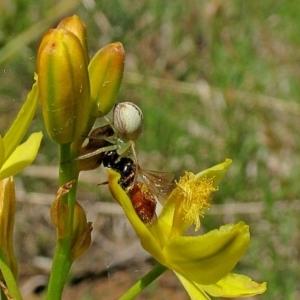 Lehtinelagia sp. at Brogo, NSW - 15 Dec 2011