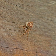 ARANEIDAE (Unidentified Orb weaver) at Brogo, NSW - 26 Mar 2004 by MaxCampbell