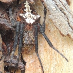 Eriophora pustulosa (Knobbled Orbweaver) at Conder, ACT - 3 Mar 2015 by michaelb