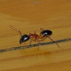 Camponotus consobrinus (Banded sugar ant) at Brogo, NSW - 13 Apr 2014 by MaxCampbell