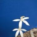 Caladenia moschata at Bruce Ridge - 29 Oct 2016