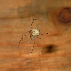 Cryptachaea gigantipes (White porch spider) at Brogo, NSW - 7 Dec 2004 by MaxCampbell