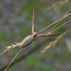 Runcinia acuminata (Pointy Runcinia) at Brogo, NSW - 18 Nov 2006 by MaxCampbell