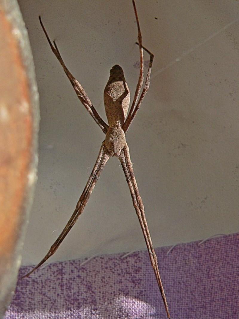 Deinopis sp. at Brogo, NSW - 25 May 2008