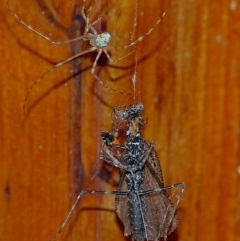 Cryptachaea gigantipes (White porch spider) at Brogo, NSW - 4 Jan 2014 by MaxCampbell