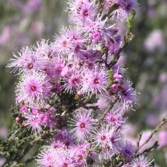 Kunzea parvifolia (Violet kunzea) at Mount Taylor - 31 Oct 2009 by MatthewFrawley