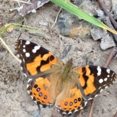 Vanessa kershawi (Australian Painted Lady) at Stirling Park - 30 Oct 2016 by Ratcliffe