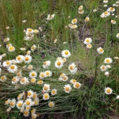 Leucochrysum albicans subsp. tricolor (Hoary Sunray) at Stirling Park - 30 Oct 2016 by Ratcliffe