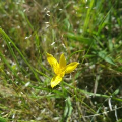 Hypoxis hygrometrica (Golden Weather-grass) at Stromlo, ACT - 30 Oct 2016 by RichardMilner