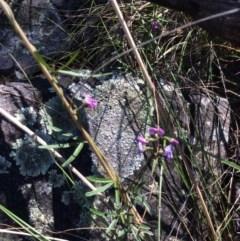 Glycine clandestina (Twining glycine) at Acton, ACT - 31 Oct 2016 by Floramaya