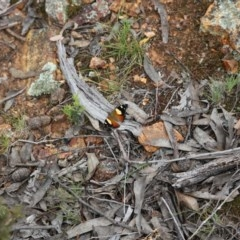 Vanessa itea (Yellow Admiral) at Gossan Hill - 29 Oct 2016 by ibaird