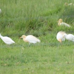 Bubulcus ibis (Cattle Egret) at Jerrabomberra Wetlands - 30 Oct 2016 by roymcd
