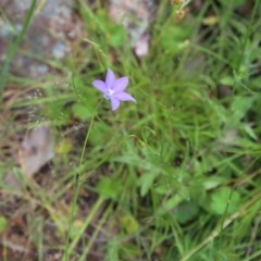 Wahlenbergia stricta subsp. stricta (Tall Bluebell) at Gossan Hill - 29 Oct 2016 by ibaird