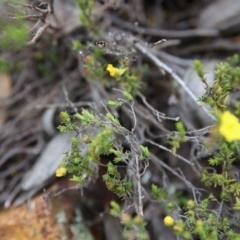 Hibbertia calycina at Gossan Hill - 30 Oct 2016