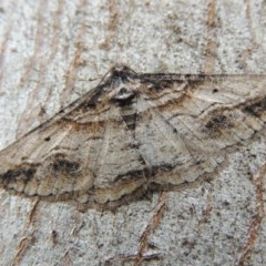 Syneora euboliaria (A looper or geometer moth) at Conder, ACT - 9 Oct 2014 by michaelb