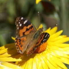 Vanessa kershawi (Australian Painted Lady) at ANBG - 4 Nov 2016 by roymcd