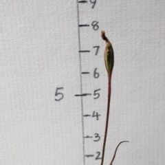 Caladenia fuscata (Dusky fingers) at Black Mountain - 3 Nov 2016 by petaurus