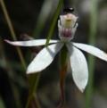 Caladenia moschata at Black Mountain - 3 Nov 2016