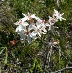 Burchardia umbellata (Milk Maids) at Mount Taylor - 5 Nov 2016 by MatthewFrawley