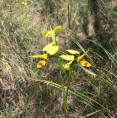Diuris sulphurea (Tiger orchid) at Black Mountain - 5 Nov 2016 by ibaird