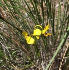 Diuris sulphurea (Tiger orchid) at Black Mountain - 6 Nov 2016 by ibaird