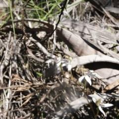 Caladenia moschata (Musky caps) at Black Mountain - 6 Nov 2016 by ibaird
