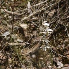Caladenia cucullata (Lemon caps) at Black Mountain - 6 Nov 2016 by ibaird