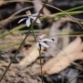 Caladenia moschata at Black Mountain - 6 Nov 2016