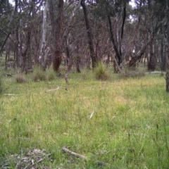 Gymnorhina tibicen (Australian Magpie) at Mulligans Flat - 7 Nov 2016 by MulligansFlat1