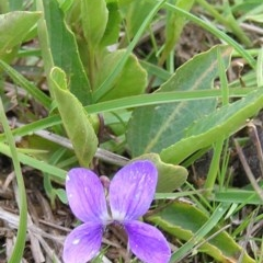 Viola betonicifolia (Purple Violet) at Mount Taylor - 25 Sep 2009 by MatthewFrawley
