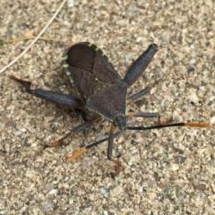 Amorbus sp. (genus) (Tip bug) at Wandiyali-Environa Conservation Area - 9 Nov 2016 by Wandiyali