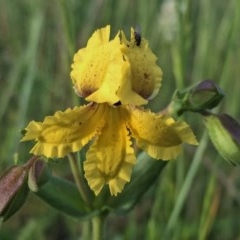 Velleia paradoxa (Spur Velleia) at Wandiyali-Environa Conservation Area - 10 Nov 2016 by Wandiyali