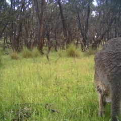 Macropus giganteus (Eastern Grey Kangaroo) at Mulligans Flat - 10 Nov 2016 by MulligansFlat1
