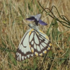 Belenois java (Caper White) at Conder, ACT - 2 Nov 2016 by michaelb