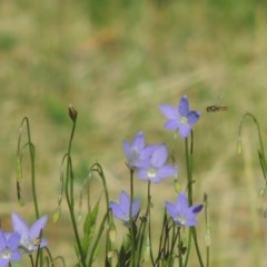 Wahlenbergia capillaris (Tufted Bluebell) at Conder, ACT - 2 Nov 2016 by michaelb