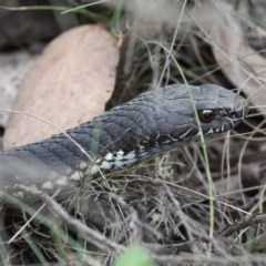 Austrelaps ramsayi (Highlands Copperhead) at Namadgi National Park - 17 Jan 2016 by HarveyPerkins