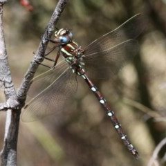 Austroaeschna pulchra (Forest Darner) at Namadgi National Park - 16 Jan 2016 by HarveyPerkins