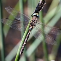 Adversaeschna brevistyla (Blue-spotted Hawker) at Booth, ACT - 8 Mar 2016 by HarveyPerkins