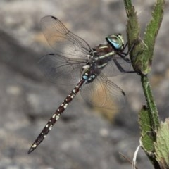 Adversaeschna brevistyla (Blue-spotted Hawker) at Greenway, ACT - 6 Feb 2016 by HarveyPerkins