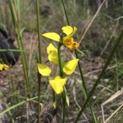 Diuris sulphurea (Tiger orchid) at Black Mountain - 13 Nov 2016 by ibaird