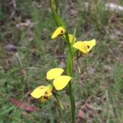 Diuris sulphurea (Tiger orchid) at Bruce Ridge - 13 Nov 2016 by ibaird